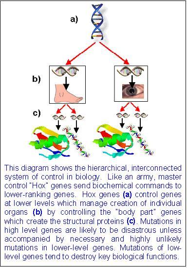 Hox Genes  Genes