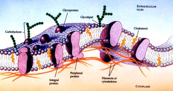 Cell Membrane showing Glycoproteins